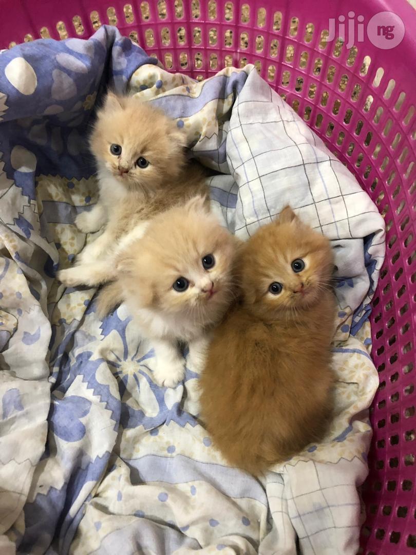 Persians Kittens