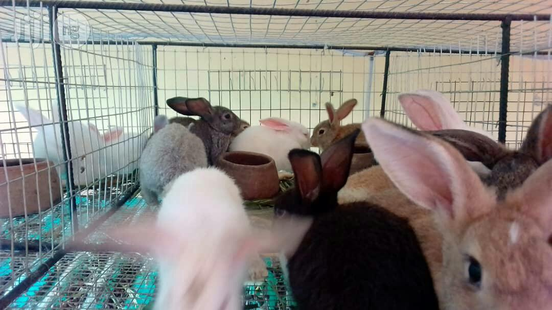 Pure Hyla Rabbits