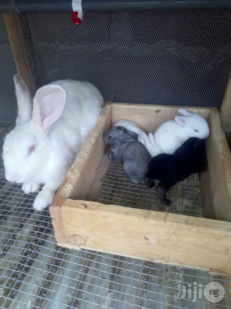 Pure Hyla Rabbits | Livestock & Poultry for sale in Akinyele, Oyo State, Nigeria