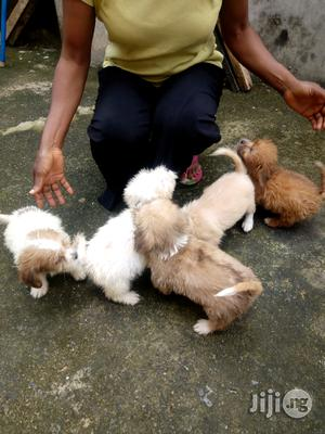 1-3 Month Female Purebred Lhasa Apso | Dogs & Puppies for sale in Edo State, Benin City