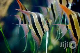 Angel Fishes for Aquariums/ Fish Bowls for Sale | Fish for sale in Lagos State, Ikeja