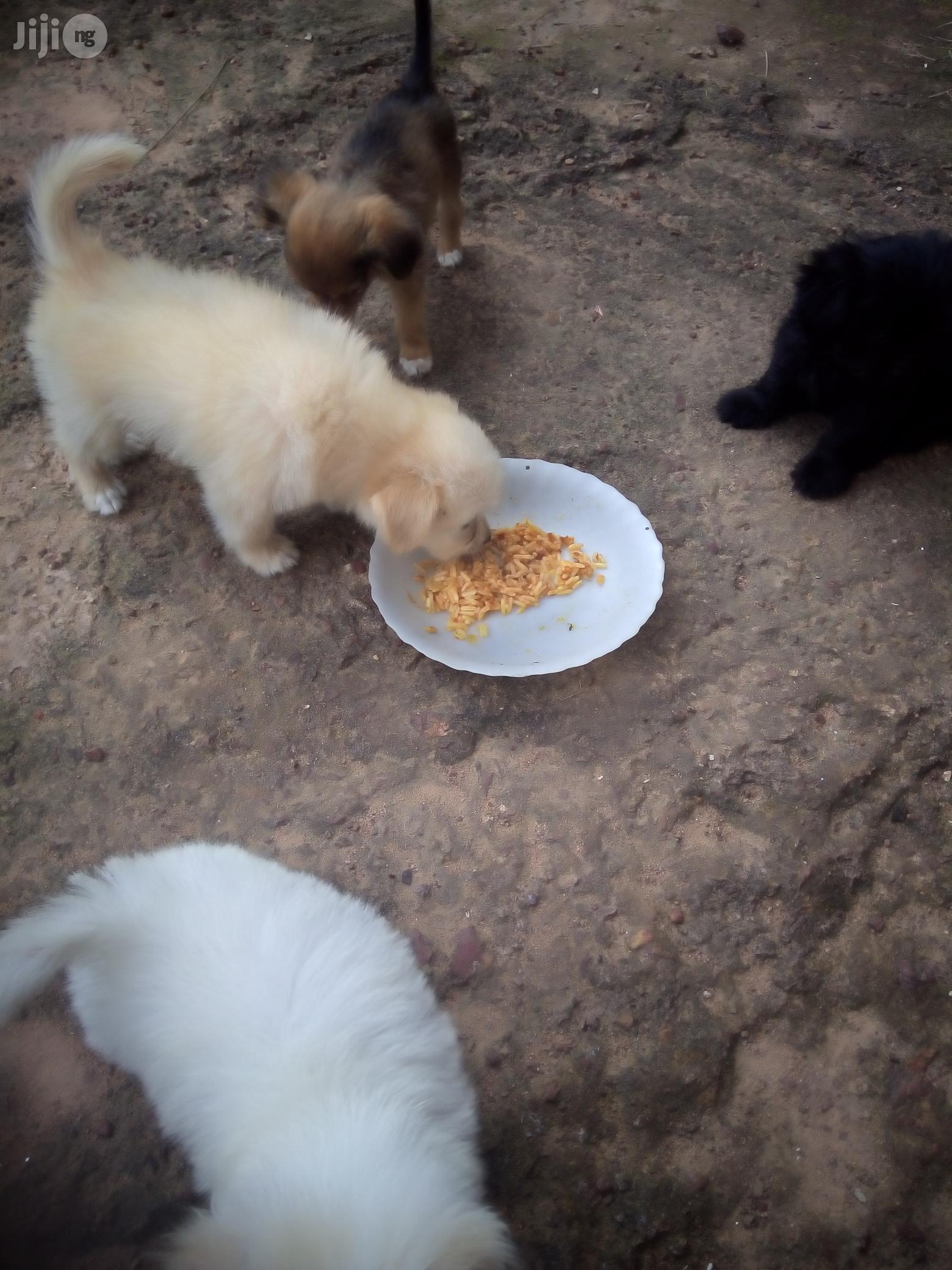 Young Male Mixed Breed Chihuahua | Dogs & Puppies for sale in Dutse-Alhaji, Abuja (FCT) State, Nigeria