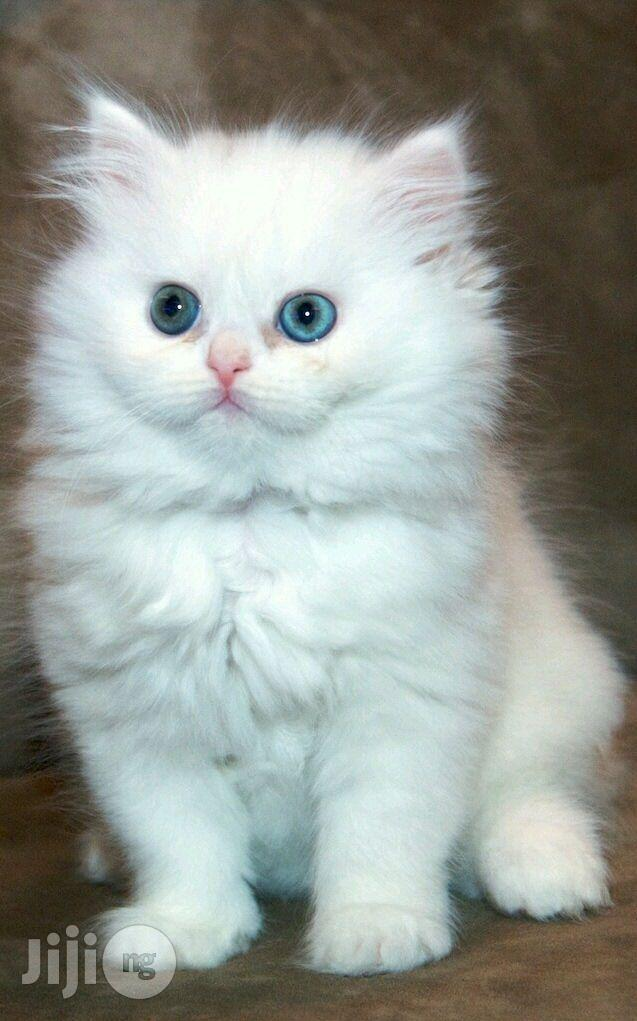 1-3 Month Female Purebred Persian | Cats & Kittens for sale in Alimosho, Lagos State, Nigeria