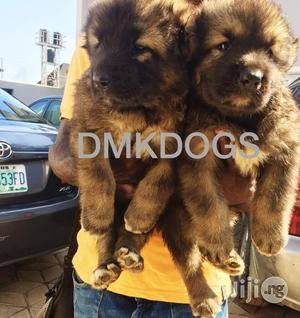 Caucasian Puppies For Sale | Dogs & Puppies for sale in Lagos State, Lekki