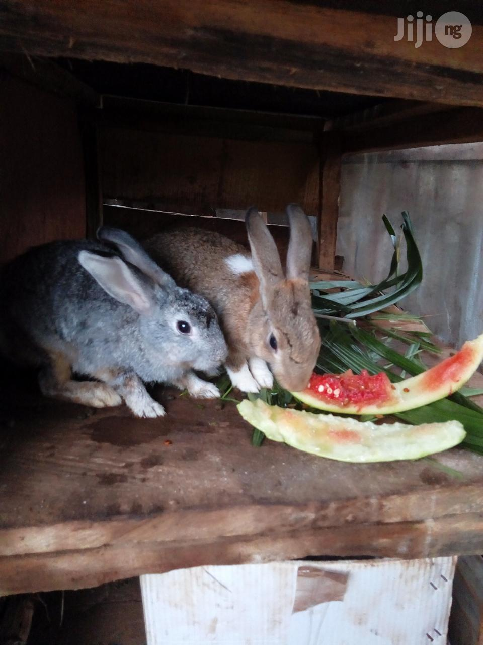 Archive: Giant Adult Rabbits For Pet And Breeding