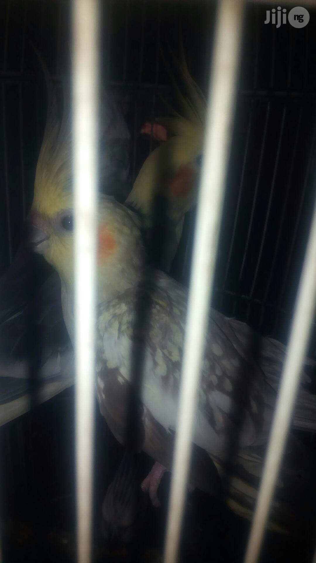 Cockatel Parrot