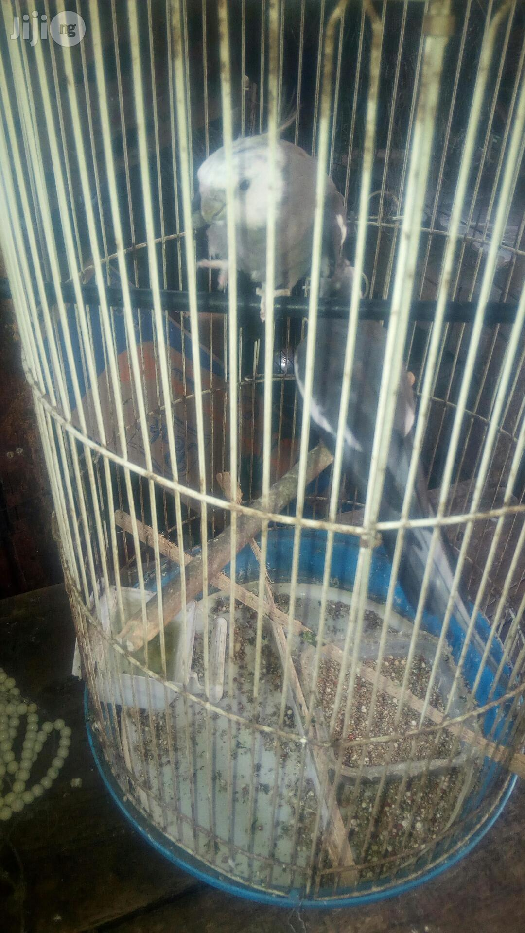 Cockatel Parrot | Birds for sale in Lagos State, Nigeria
