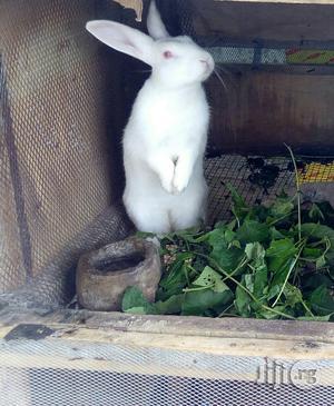 Rabbit For Sale | Livestock & Poultry for sale in Ogun State, Ijebu