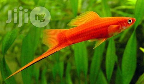 Affordable Sword Tail Fishbowl/ Aquarium Fish For Sale