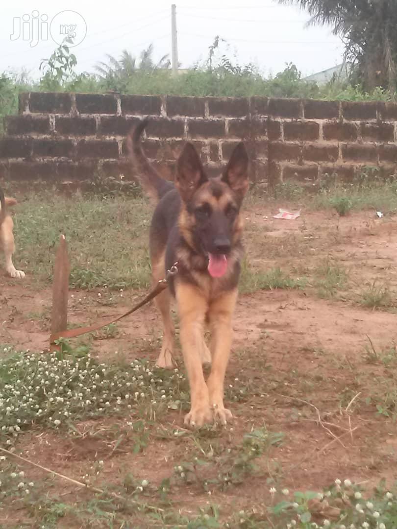 Young Female Purebred American Eskimo | Dogs & Puppies for sale in Victoria Island, Lagos State, Nigeria