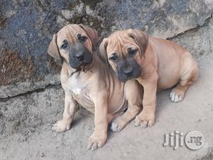 1-3 Month Female Purebred Boerboel | Dogs & Puppies for sale in Abuja (FCT) State, Karu
