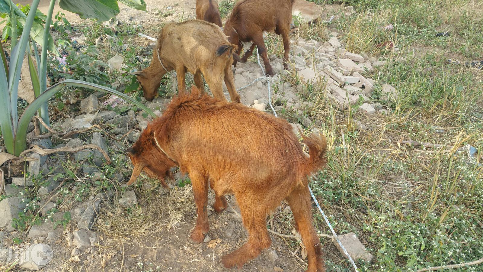 GOATS Affordable Prices. | Livestock & Poultry for sale in Ajah, Lagos State, Nigeria