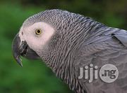 African Grey Parrot/ Senegalese Parrot/Indian Ringnecked | Birds for sale in Abuja (FCT) State, Gudu