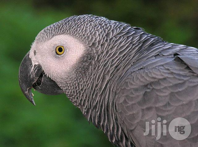 African Grey Parrot/ Senegalese Parrot/Indian Ringnecked