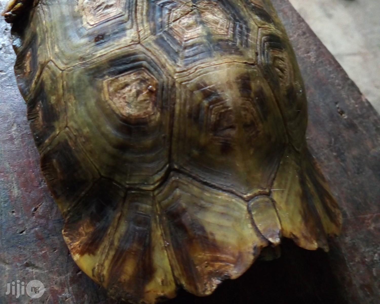 Tortoise For Sale   Reptiles for sale in Ado-Odo/Ota, Ogun State, Nigeria