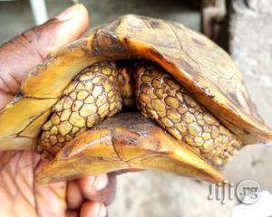 Tortoise For Sale | Reptiles for sale in Ogun State, Ado-Odo/Ota