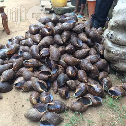 SNAILS (Giant African Land Snails)