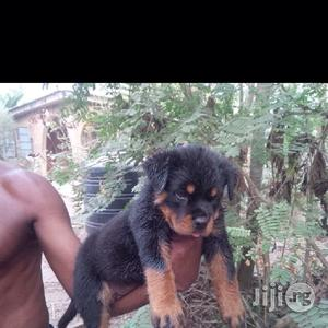 1-3 Month Male Purebred Rottweiler | Dogs & Puppies for sale in Lagos State, Ipaja