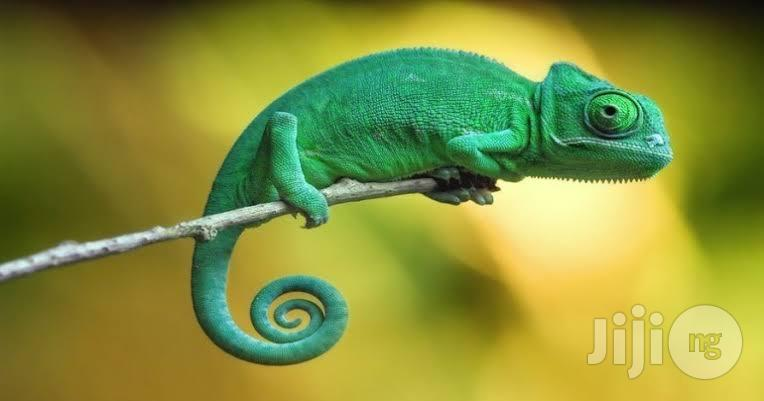 Chameleon At Affordable Price | Reptiles for sale in Ugheli, Delta State, Nigeria