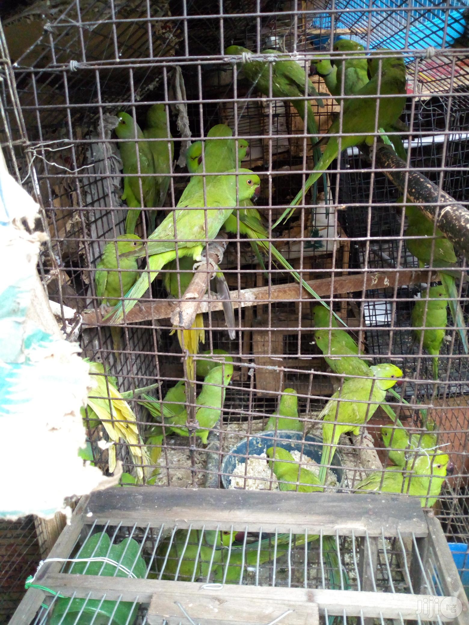 Parakeet Parrot For Sale