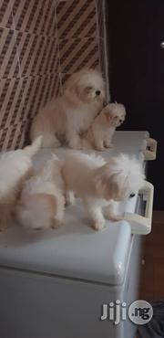Cute Lhasa Apso   Dogs & Puppies for sale in Lagos State, Lekki Phase 1