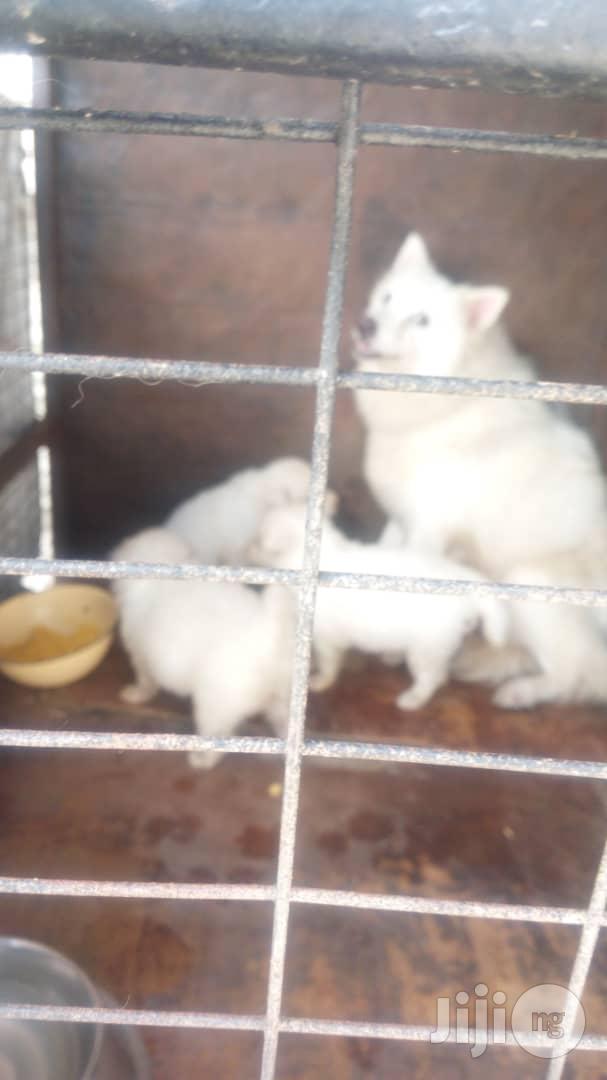 1-3 month Male Purebred American Eskimo | Dogs & Puppies for sale in Gbagada, Lagos State, Nigeria