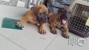 Young Female Purebred Boerboel | Dogs & Puppies for sale in Delta State, Warri