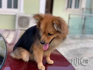 Purebreed Pomeranian Pup for Sale   Dogs & Puppies for sale in Lagos State, Alimosho