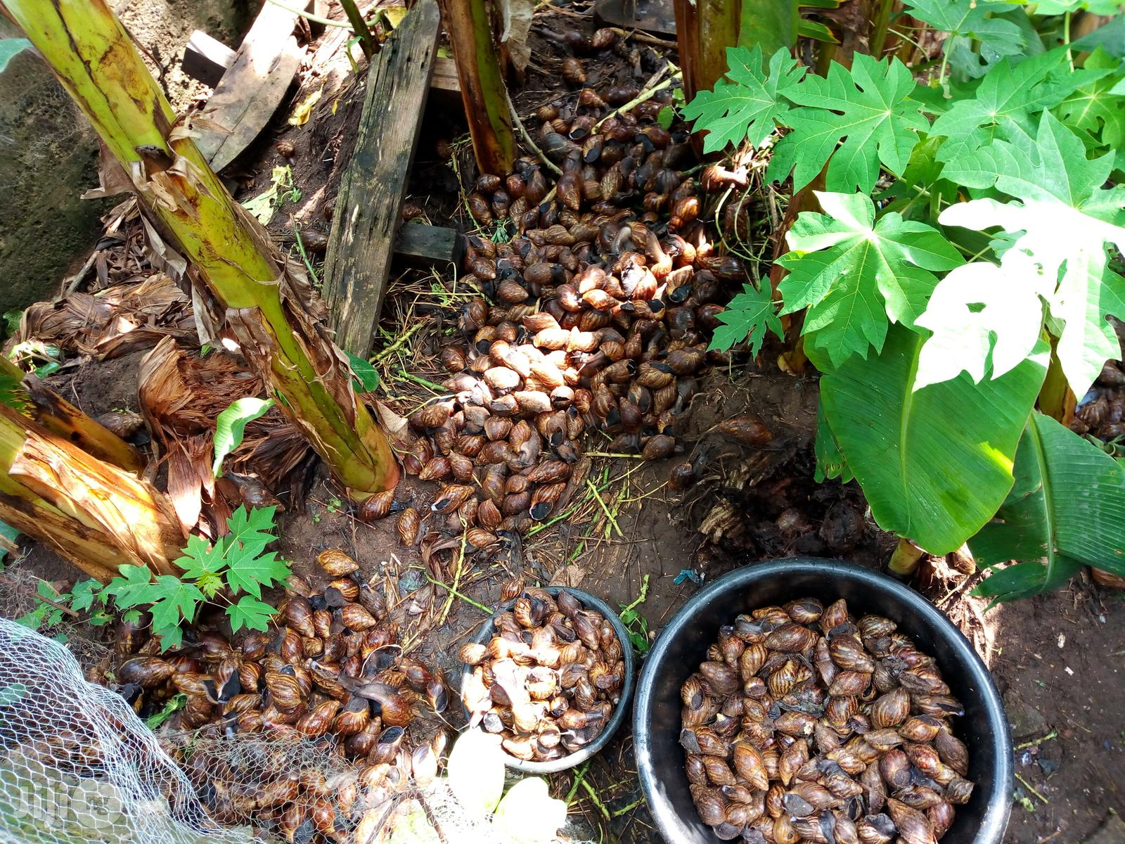 Snails For Sell   Other Animals for sale in Ado-Odo/Ota, Ogun State, Nigeria