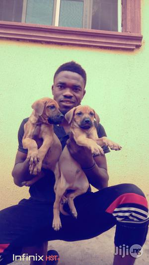 1-3 Month Female Purebred Boerboel | Dogs & Puppies for sale in Ekiti State, Ilawe