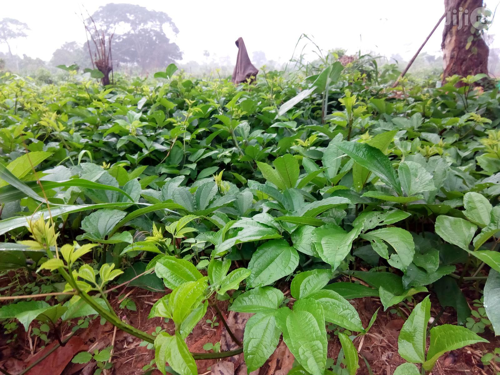 Archive: Buy Ugu (Ugwu) Fluted Pumpkin Leaves And Seeds