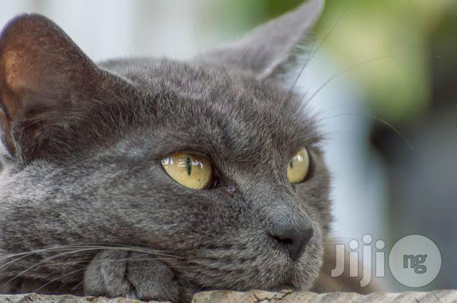 Young Female Purebred Russian Blue   Cats & Kittens for sale in Wuse 2, Abuja (FCT) State, Nigeria
