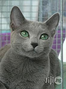 Young Female Purebred Russian Blue