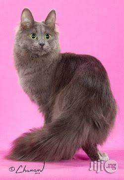 Very Rare Blue Turkish Angora For Sale. | Cats & Kittens for sale in Wuse 2, Abuja (FCT) State, Nigeria