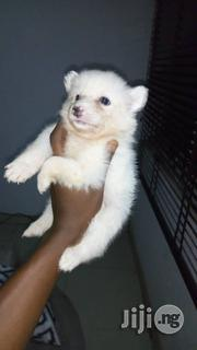 Cute Samoyed Puppies For Sale   Dogs & Puppies for sale in Lagos State, Ikeja