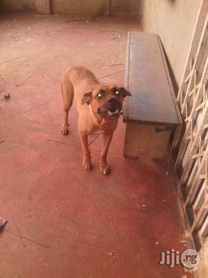 Adult Female Boerboel For Sale | Dogs & Puppies for sale in Lagos State, Epe