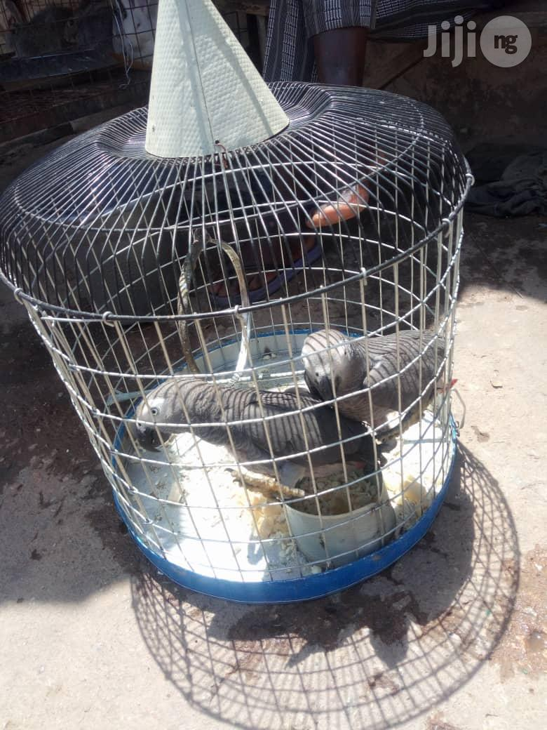 Young African Grey Parrot For Sale | Birds for sale in Gudu, Abuja (FCT) State, Nigeria