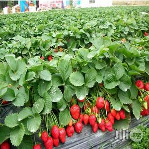 Strawberry Seeds And Strawberry Seedlings | Feeds, Supplements & Seeds for sale in Plateau State, Jos