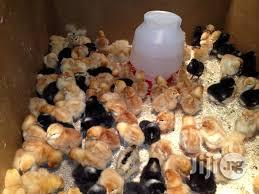 Two Weeks Broilers Noilers Special Cockerels | Livestock & Poultry for sale in Abuja (FCT) State, Nyanya
