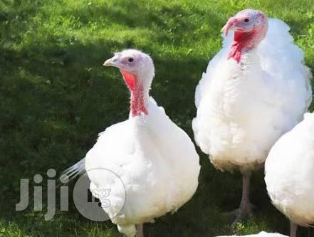 Broad Breast White Turkey