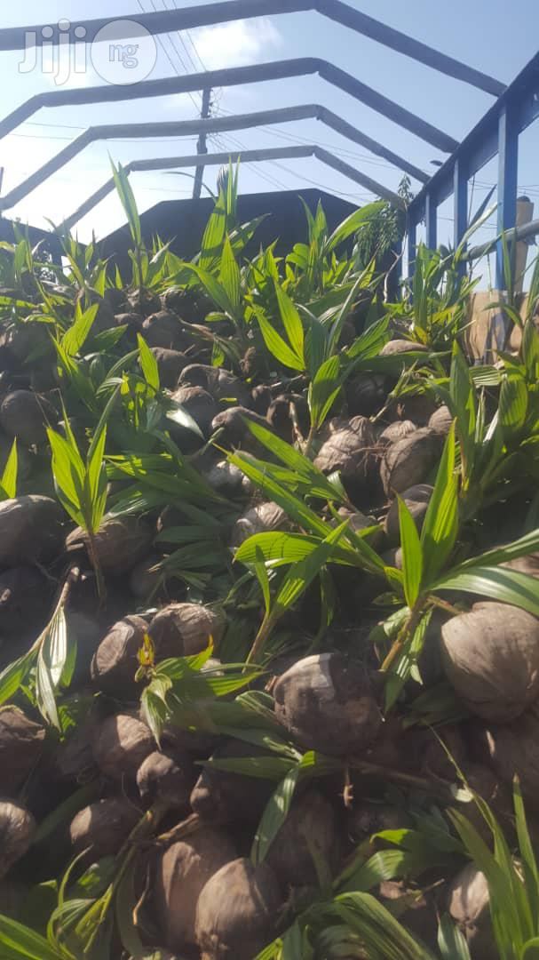 Hybrid Coconut Seedlings | Feeds, Supplements & Seeds for sale in Badagry, Lagos State, Nigeria