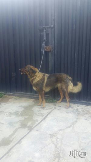 Six Months Female Caucasian for Sale in Ibadan | Dogs & Puppies for sale in Oyo State, Ibadan