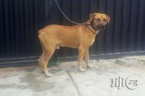Young Male Purebred Boerboel | Dogs & Puppies for sale in Oyo State, Ibadan