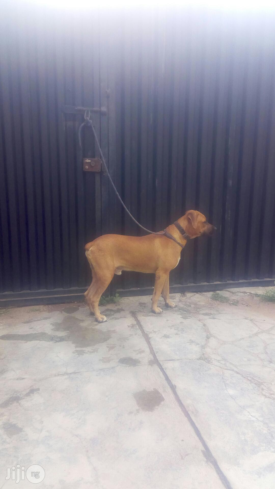 Young Male Purebred Boerboel | Dogs & Puppies for sale in Ibadan, Oyo State, Nigeria