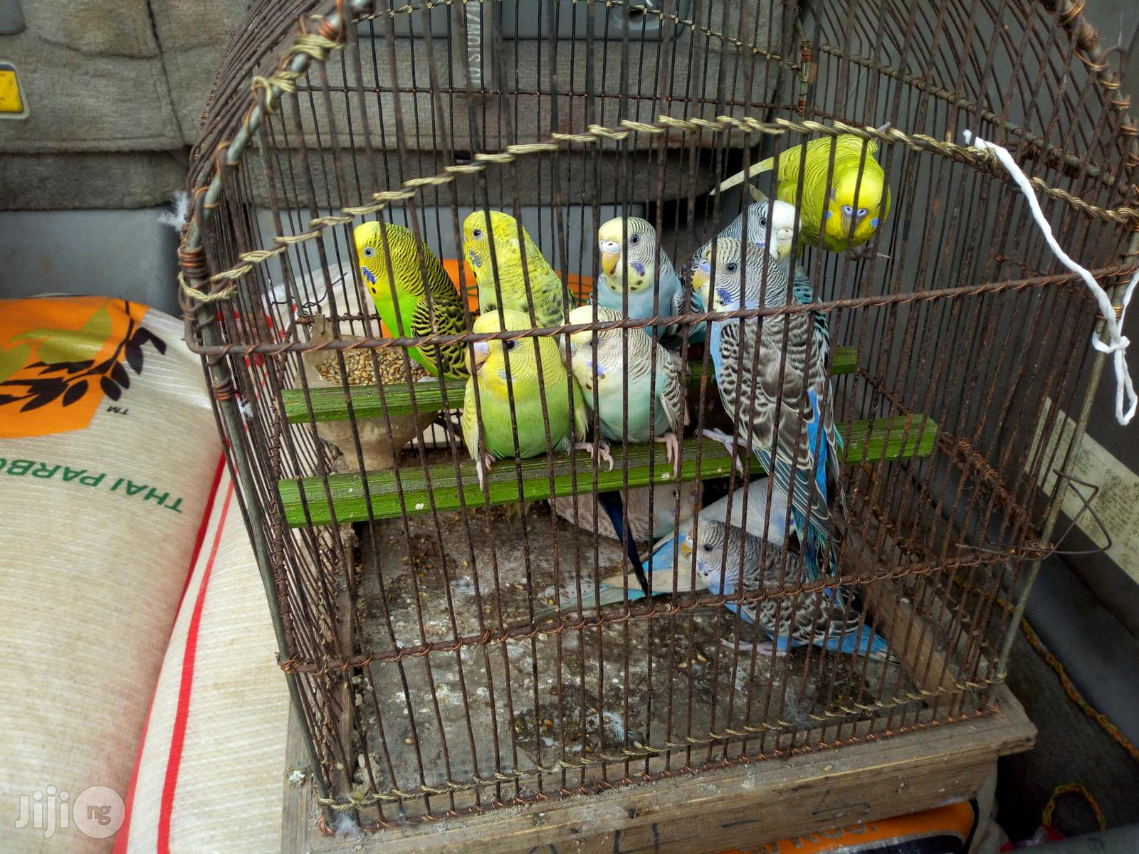 Budgie Parrot Pair For Sale