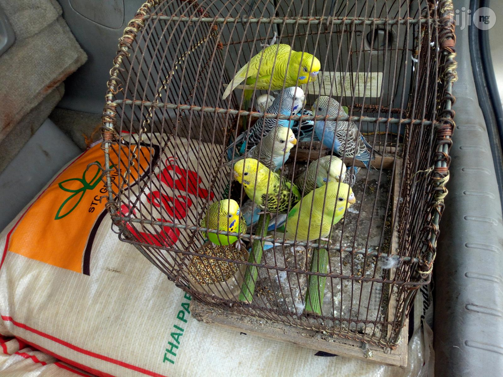 Budgie Parrot Pair For Sale | Birds for sale in Lagos State, Nigeria