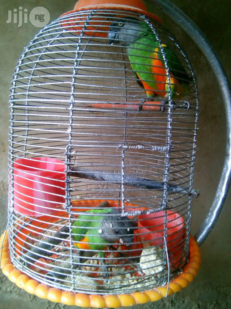 African Grey Parrot/ Senegalese Parrot/Indian Ringnecked | Birds for sale in Gudu, Abuja (FCT) State, Nigeria