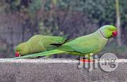 Ring Parakeet Parrot | Birds for sale in Abuja (FCT) State, Kubwa