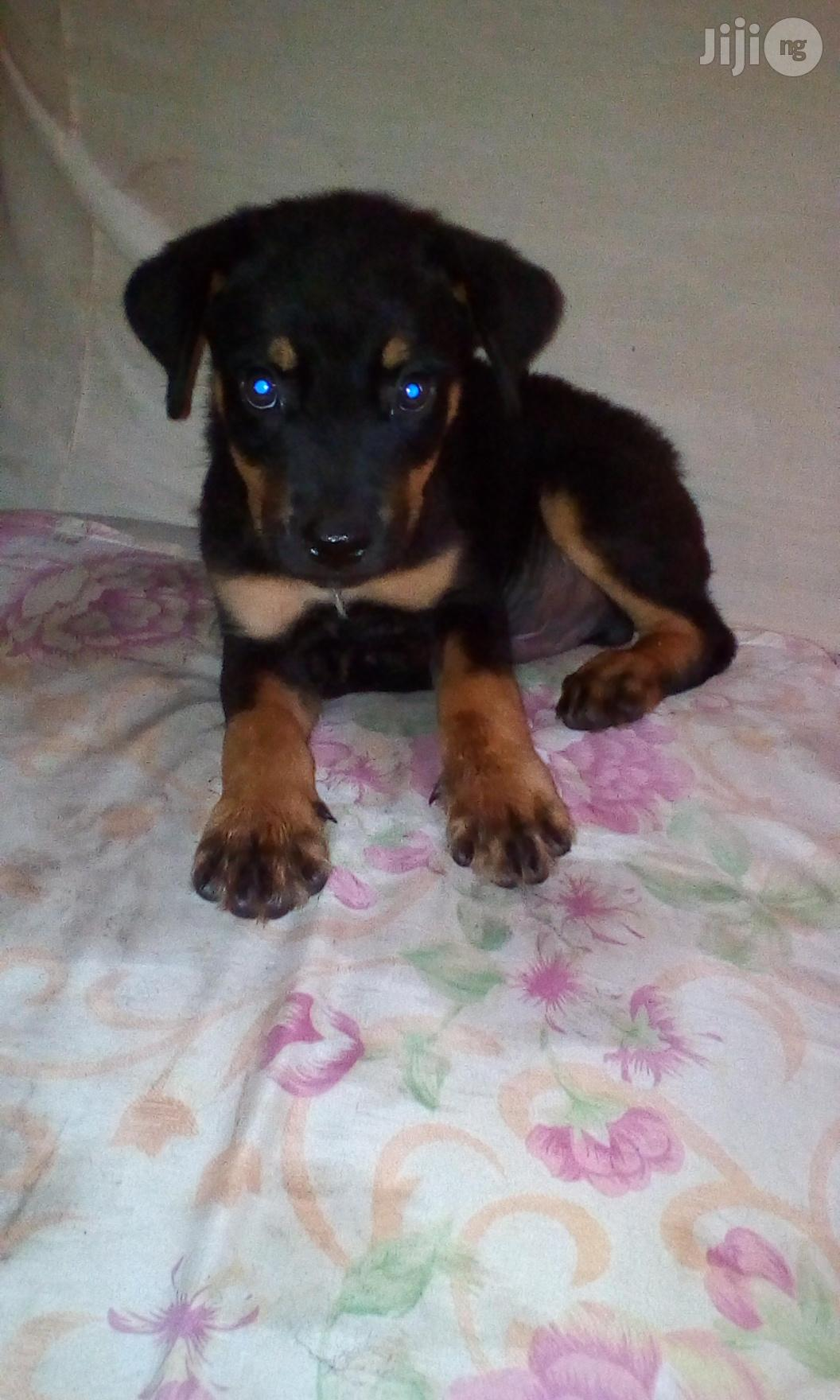 Baby Male Purebred Rottweiler