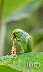 India Ringneck Parrot | Birds for sale in Lagos State, Mushin